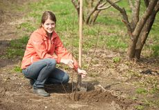 Woman resetting  tree sprouts. Young woman resetting  tree sprouts in orchard Royalty Free Stock Photos