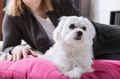 Woman rests with small thoroughbred maltese. On the pillow Royalty Free Stock Photo
