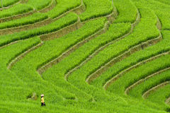 Woman in rice field terraces Stock Images