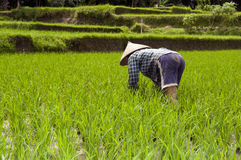 Woman in rice fields Bali Royalty Free Stock Photo