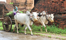 A woman riding ox cart on rural road in Bagan, Myanmar Royalty Free Stock Images