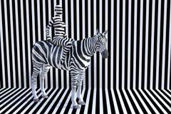 Woman Riding Zebra, Stripes, Wildlife Animal Royalty Free Stock Images