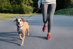 Woman in running suit jogging with her dog. Young fit female and. Staffordshire terrier dog doing morning walk in a park stock photo