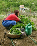 Woman rural with chard Stock Image
