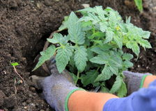 Woman's gloved hands putting tomato plant in ground Royalty Free Stock Photo