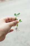 Catching a baby tree. A woman's hand is catching a baby tree Royalty Free Stock Photo