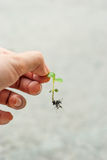Hand holding a tree. A woman's hand is catching a leaf of baby tree on grey background Royalty Free Stock Photo