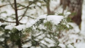 Woman`s hand cleaning snow away from pine tree. In the forest. Slow motion stock video