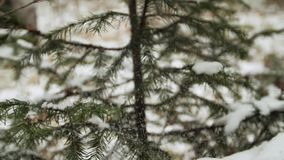 Woman`s hand cleaning snow away from pine tree. In the forest. Slow motion stock video footage