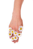 Woman's hand with daisies blossoms Stock Photography