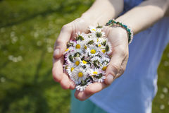 Woman's hand with Daisies. In the garden Royalty Free Stock Photography