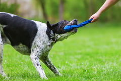 Woman`s hand and a dog pulling at a toy. Picture of a woman`s hand and a dog pulling at a toy Stock Photos