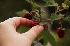 Woman`s hand gather raspberries on a bush. Closeup of raspberry cane. Summer garden in village. Growing berries harvest royalty free stock photography