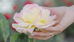 A woman`s hand gently touches a rose stock video