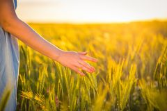 A woman`s hand gently touching green wheat plant on the field Stock Photo