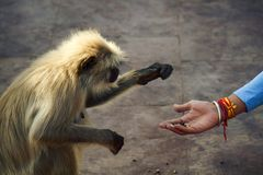 Woman's hand gives seeds to monkey. Sacred animal and feed of animals. India stock image