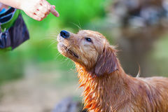 Woman`s hand gives a wet dog a treat stock photography