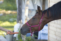 Woman`s hand giving a carrot to horse Stock Image
