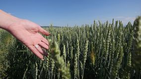 Woman`s hand goes through wheat field. Girl`s hand touching wheat ears closeup.Harvest concept. Harvesting. Slow motion.  stock image