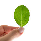 Woman's hand holding basilia leaf Royalty Free Stock Photography