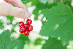 Woman's hand holding a branch of red currants berries Royalty Free Stock Photography