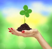 Woman`s hand holding a clover plant growing out of the ground Stock Photography