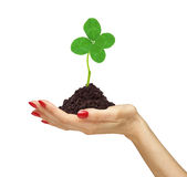 Woman's hand holding a clover plant growing out of the ground Stock Photo