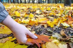 Woman`s hand holding a fallen leaf royalty free stock image