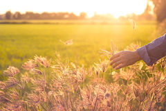Woman`s hand holding grass meadow on sunset background Royalty Free Stock Image