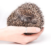 Woman`s hand holding Hedgehog. Royalty Free Stock Images
