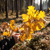 Woman's hand holding oak branch with yellow autumn leaves Royalty Free Stock Photo