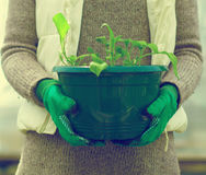 Woman's hand holding pot with seedlings. Stock Photography