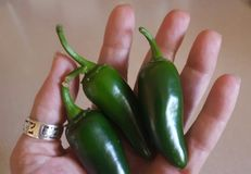 Woman's hand holding 3 ripe jalapeños royalty free stock photo