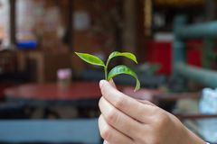 A woman's hand holding tea leaves. A woman's hand holding tea leaves , thailand Stock Image