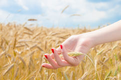 Woman's hand holding wheat Royalty Free Stock Photo