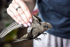 Woman's hand holding a young, wild, beautiful, grey bird (common swift) per wings. Selective focus Royalty Free Stock Photo