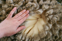 Woman's hand over merino wool Royalty Free Stock Image