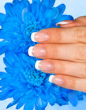 Woman's hand with perfect french manicure Royalty Free Stock Image