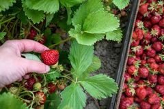 Woman's hand picking June bearing strawberries growing in a farmer's field, box with picked berries, summer goodness royalty free stock photos