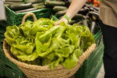 Woman`s hand picking a lettuce stock photography