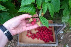 Woman's hand picking a ripe red raspberry on a rural farm, rainy day, basket of berries in background, Pacific Northwest, USA royalty free stock photo