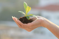 Woman's hand with plant. Stock Images