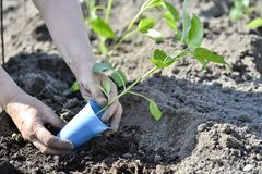The woman`s hand planted sprout seedlings of pepper on a country site in open ground. Close up.  royalty free stock photo