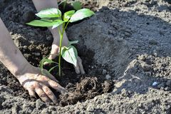 The woman`s hand planted sprout seedlings of pepper on a country site in open ground. Close up.  royalty free stock image