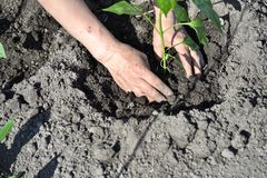 The woman`s hand planted sprout seedlings of pepper on a country site in open ground. Close up.  royalty free stock photos