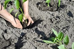 The woman`s hand planted sprout seedlings of pepper on a country site in open ground. Close up.  stock photos