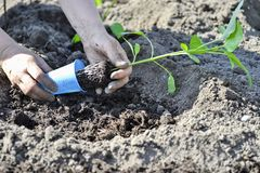 The woman`s hand planted sprout seedlings of pepper on a country site in open ground. Close up.  stock photo
