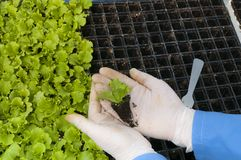 Lettuce seedlings in woman`s hands. A woman`s hand planting lettuce seedlings.Seedling greenhouse detail for your agribusiness stock image