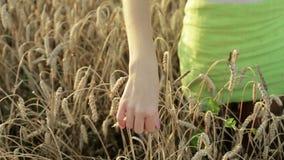Woman`s hand running through wheat field. stock footage