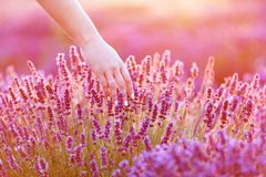 Woman`s hand softly touching lavender flowers at sunset. Royalty Free Stock Image